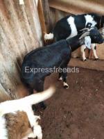 7 Nati Goats For Sale In Nelamangala Karnataka