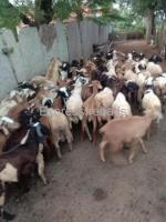 Sheeps For Sale In Pavagada Karnataka