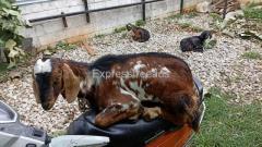 4 nati goats for sale near Bangalore Karnataka