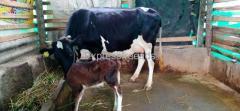 HF Cow For Sale Holalkere taluk Chitradurga District Karnataka