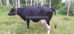 HF Cow For Sale In Malur
