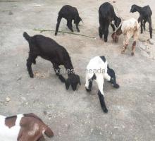 7 Goat Kids For Sale Doddaballapur karnataka