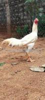 Fighter Chicken For Sale In Hyderabad Telangana