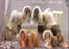 lhasa apso puppies for sale in Hyderabad