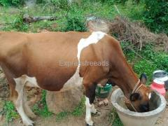 Cow For Sale In Kuppam Andhra Pradesh