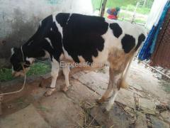 HF Cow For Sale Mandya Karnataka