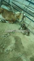 Beetle crossed babies with mother goats For sale