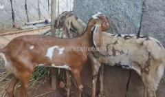 Hyderabadi 2 Months pregnant Goats For Sale