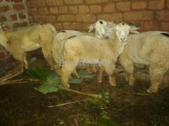 Pure bannur sheeps females and kids For Sale In Mysore