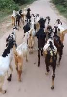 Male Goats For Sale In Chittoor District Andhra pradesh