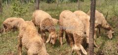 10 Sheeps For Sale In Doddaballapur Karnataka