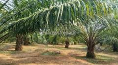 22 _ acres _ palm Oil _ Garden ready for sale.