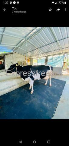 Cow Floor Mats