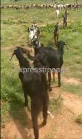 10 Goats For Sale In Pavagada