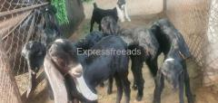 Beetle Breed 6 Female 1 Mail for Sale