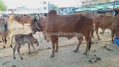 Desi Gir cow's for sale