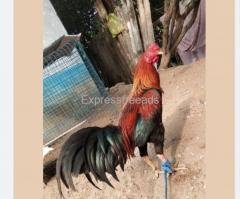 fFighter Chicken For Sale