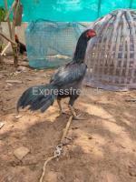 Nativebreeders poultryfarming Breeder for Sale