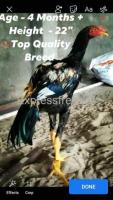 Top Quality Chicken Breed
