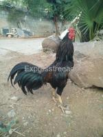 Fighter chicken for sale #poultery #Chicken Breeds #transportation #available