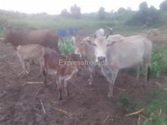 20 desi cow for sale #aimall
