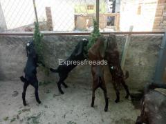 Beetal Sirohi Goat For Sale Goat farming