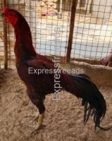 Tamilnadu Fighter Chicken