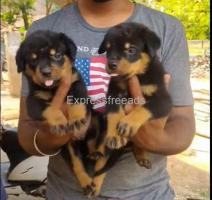 Rottweiler puppies available puppy