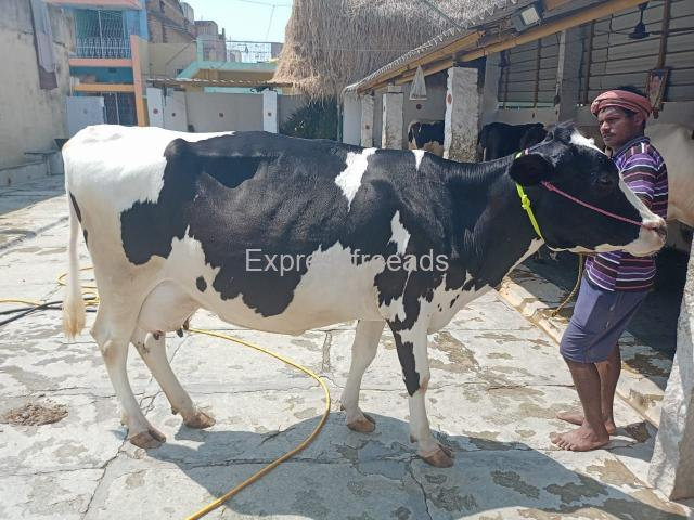 HF COW FOR SALE #Cattlefarming#cowforsale #animall #pashu #pashu mela