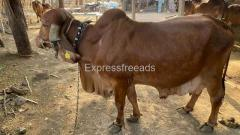 Gir Cow for Sale in Gujrat Pashu Animall