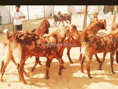 Special Sirohi Goats for Sale Supply all over India