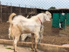 Sojat Goat For Sale Goat farming