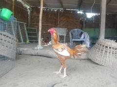 Excellent for Breeding Purpose fighter Chicken For Sale