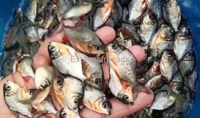 Fish Spawn Seeds Supplier Rohu Catla Rupchand Pangas Seabass Mrigel