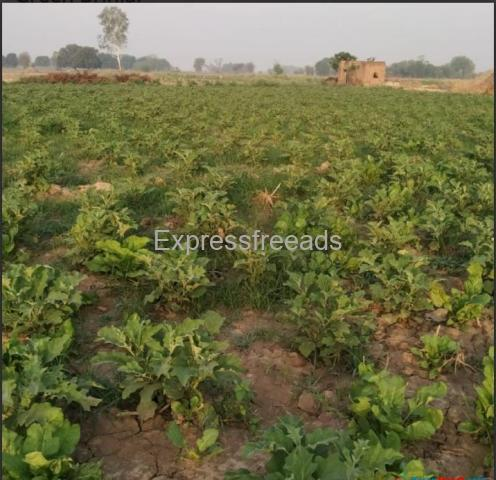Green Brinjal Ready to sale